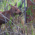 Mini Moose by Jim Garrison