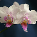 Mini Orchids 2 by Marna Edwards Flavell