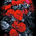 Mini Roses On Walk by Tim G Ross