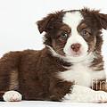 Miniature American Shepherd Puppies by Mark Taylor