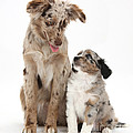Miniature American Shepherd With Puppy by Mark Taylor