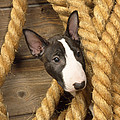 Miniature Bull Terrier Puppy by John Daniels