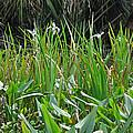Miniature Lilies by Deborah Good