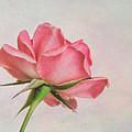 Miniature Rose II by David and Carol Kelly