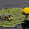 Mink Frog On Lilypad  by Tony Beck