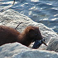 Mink With A Round Goby by Randy J Heath