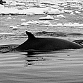 Minke Whale With Marked Notched Dorsal Fin And Yellow Diatom Marking With Tourist Zodiac Boats In Th by Joe Fox