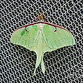 Mint Green Luna Moth by Andee Design