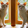 Mirrored Cats by Jenny Setchell