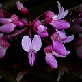 Mirrored Redbuds by Maria Urso
