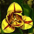 Mirrored Tulip Time by LeeAnn McLaneGoetz McLaneGoetzStudioLLCcom