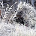 Mister Porcupine - Denali Alaska by Dyle   Warren