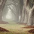 Misty Morning Avenue Of Oaks by Barbara Northrup