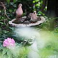 Misty Morning Doves by Jinx Farmer