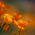 Misty Poppies by Roger Mullenhour