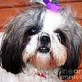 Mitzie - Shih Tzu by Barbara Griffin
