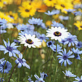 Mixed Daisies by Neil Overy
