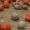 Mixed Pumpkins by Suzanne Luft