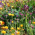 Mixed Wildflowers by Kathryn Meyer