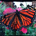 Mnarch Butterfly by Monte Landis