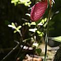 Moccasin Flower by Neal Eslinger