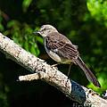 Mockingbird by Timothy Flanigan