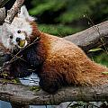 Mohu Eats Bamboo by Greg Nyquist