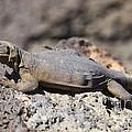 Mojave Desert Chuckwalla by B Christopher