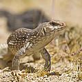 Mojave Desert Iguana by B Christopher