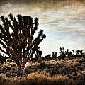Mojave Desert Joshua Tree by Evie Carrier