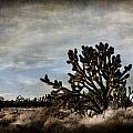 Mojave Desert Joshua Tree In Cima by Evie Carrier