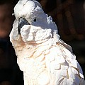 Moluccan Cockatoo In The Spotlight by Andrea Lazar