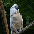 Moluccan Cockatoo by Judy Whitton