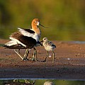 Mom And Baby Avocet by Ruth Jolly