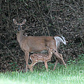 Mom And Baby Deer by Dwight Cook