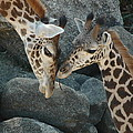 Mom And Baby Giraffe by Sheri Heckenlaible