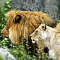 Mom And Pop Lion by DUG Harpster