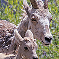 Momma And Baby Ram by Athena Mckinzie