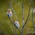 Momma Bluebird And Baby by Cheryl Baxter