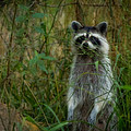 Momma Coon by Kim Henderson