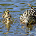Momma Mallard And Her Ducklings by Sharon Talson