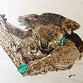 Mommy Koala Bear And Cub Pyrographic Wood Burn Original 5.75 X 5.75 by Shannon Ivins