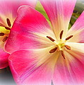 Moms Tulips 1 by Sheri McLeroy