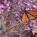 Monarch 1 by Robert  McKinstry