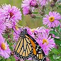 Monarch 1 by Susan McMenamin