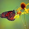 Monarch 2013 by Beth Akerman