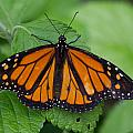 Monarch 3 by Leah Palmer