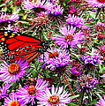 Monarch Among The Asters by Laurel Talabere