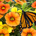 Monarch Among The Flowers by Garry Gay