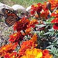 Monarch Among The Marigolds by Linda Feinberg